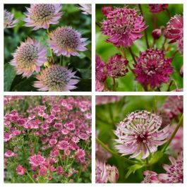 Astrantia Collection | 4 x 1L Pots