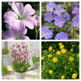 Loved by Pollinators Perennial Collection | 4 x 1L Pots