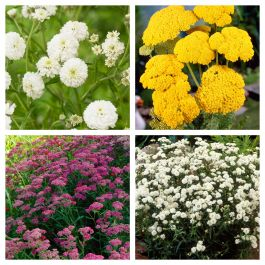 Achillea Collection | 4 x 1L Pots
