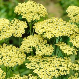Achillea Anthea | 2L Pot