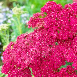 Achillea millefolium 'Saucy Seduction' | 2L Pot