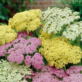 Achillea millefolium 'Sunny Seduction' | 2L Pot