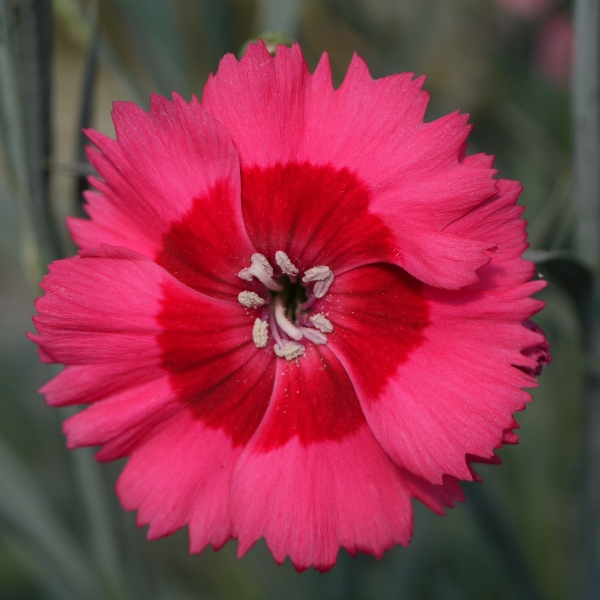 Dianthus Cocktail 'Cosmopolitan' | 2L Pot