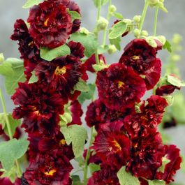 Alcea 'Chaters Maroon' | 3L Pot