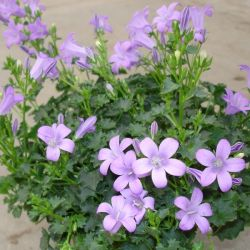 Campanula 'Blue Moon' | 2L Pot