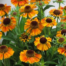 Helenium autumnale 'Short and Sassy' | 10.5cm Pot