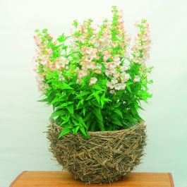 Penstemon 'Phoenix Appleblossom' | 3L Pot