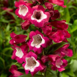 Penstemon 'Phoenix Magenta' | 3L Pot