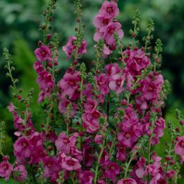 Verbascum 'Plum Smokey' | 3L Pot