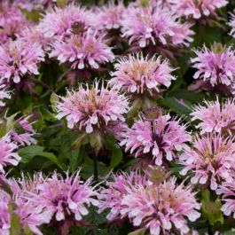 Monarda 'Sugar Buzz Lilac Lollipop' | 13cm Pot