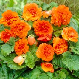 Begonia 'Non Stop Orange' | 13cm Pot