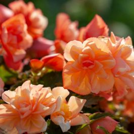 Begonia 'Fragrant Falls Peach' | 2L Pot
