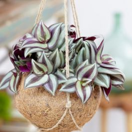 50cm Tradescantia Zebrina 'Purple' | 5L Pot | By Plant Theory