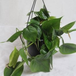60cm Philodendron Scandens | Heart Leaf Philodendron | 13cm Pot | By Plant Theory