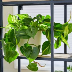 25cm Philodendron Scandens | Heart Leaf Philodendron | 13cm Pot | By Plant Theory