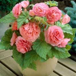 Begonia 'Non Stop F1 Pink' | 13cm Pot