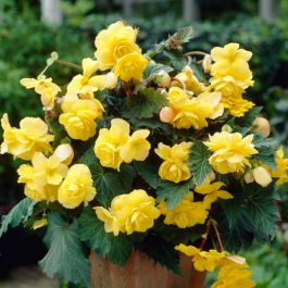 Begonia 'Solenia' Yellow | 2L Pot