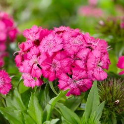 Dianthus 'Barbatus Barbarini' Rose | 13m Pot