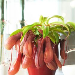 Tropical Pitcher Plant | Nepenthes Alata | 14cm Hanging Pot | By Plant Theory