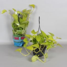 Golden Pothos | Devil's Ivy | Epipremnum Pinnatum | 15cm Hanging Pot | By Plant Theory