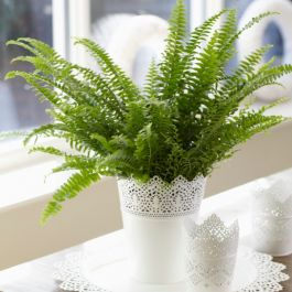Sword Fern 'Green Lady' | Nephrolepis | 17cm Hanging Pot | By Plant Theory