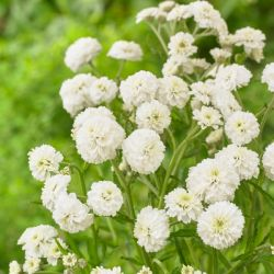 Achillea ptarmica (The Pearl Group) 'The Pearl' | 3L Pot