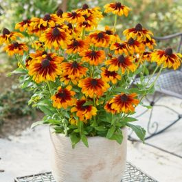 Rudbeckia 'Summerdaisies Bronze Bi-Colour' |  Rudbeckia X Gaillardia | 3L Pot