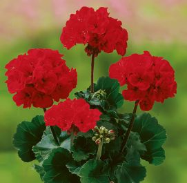 Pelargonium X  Zonale Grandeur Dark Velvet Red  | 13cm Pot