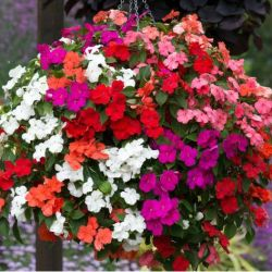 Impatiens 'Beacon' Mixed | A Tray Of 40 Plug Plants