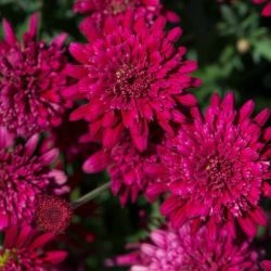 Argyranthemum 'Madeira Double Red' | Pack Of 5 Plug Plants