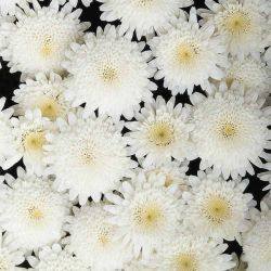 Argyranthemum 'Madeira White' | Pack Of 5 Plug Plants