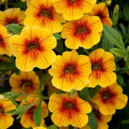 Calibrachoa 'Can Can Sunrise' | Pack Of 5 Plug Plants