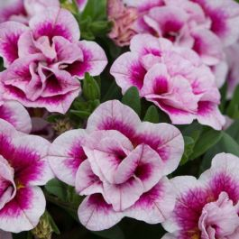 Calibrachoa 'Can Can Double Pinktastic' | Pack Of 5 Plug Plants