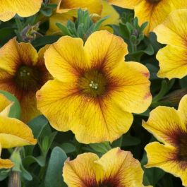 Petchoa 'Beautical Caramel Yellow' | Pack Of 5 Plug Plants