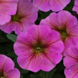 Petchoa 'Beautical Sunray Pink'| Pack Of 5 Plug Plants