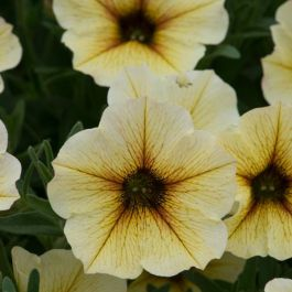 Petchoa 'Beautical French Vanilla'| Pack Of 5 Plug Plants