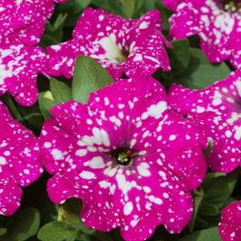 Petunia 'Baby Doll' | Pack Of 5 Plug Plants