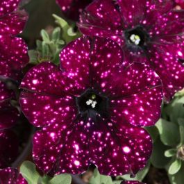 Petunia 'Lightning Sky' | Pack Of 5 Plug Plants