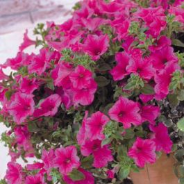 Petunia Surfinia 'Hot Pink' | Pack Of 5 Plug Plants