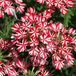 Verbena 'Enchantment Red Star' | Pack Of 5 Plug Plants