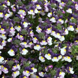 Nemesia 'Sundae Blueberry Ice' | Pack Of 5 Plug Plants