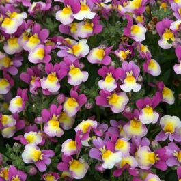 Nemesia 'Sundae Forest Fruits' | Pack Of 5 Plug Plants