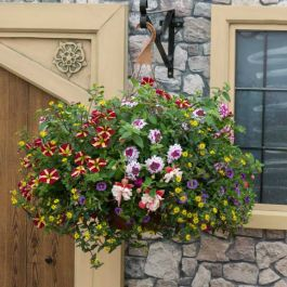 'Multicolour Mixed' Hanging Basket Speed Planter