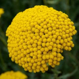 Achillea filipendulina 'Cloth of Gold' | 9cm Pot