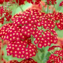 Achillea millefolium 'Cherry Queen' | 9cm Pot