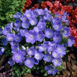 Campanula carpatica 'Blue' | 9cm Pot