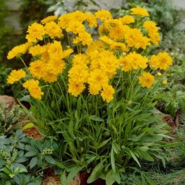 Coreopsis grandiflora 'Early Sunrise' | 9cm Pot