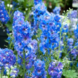 Delphinium 'Magic Fountain Sky Blue' | 9cm Pot