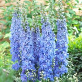 Delphinium excalibur 'Light Blue with White Bee' | 9cm Pot