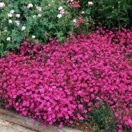 Dianthus deltoides 'Brilliant' | 9cm Pot
